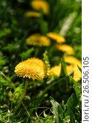 Купить «Close up of blooming yellow dandelion flowers», фото № 26506105, снято 27 мая 2017 г. (c) Илья Малов / Фотобанк Лори