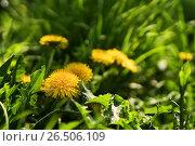 Купить «Close up of blooming yellow dandelion flowers», фото № 26506109, снято 27 мая 2017 г. (c) Илья Малов / Фотобанк Лори