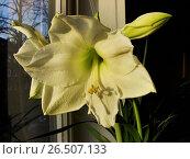 Купить «Amaryllis (Hippeastrum spec.), white flowering variety on a windowsill», фото № 26507133, снято 27 февраля 2008 г. (c) age Fotostock / Фотобанк Лори