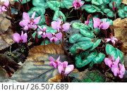 Купить «Eastern cyclamen (Cyclamen coum), blooming», фото № 26507689, снято 28 января 2020 г. (c) age Fotostock / Фотобанк Лори