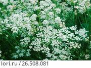 Купить «Common caraway (Carum carvi), blooming», фото № 26508081, снято 28 января 2020 г. (c) age Fotostock / Фотобанк Лори