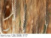 Купить «Branched Wheat (Triticum turgidum ssp. turgidum), spikes», фото № 26508117, снято 10 декабря 2019 г. (c) age Fotostock / Фотобанк Лори