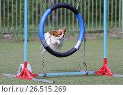 Купить «Собака породы папийон (папильон) прыгает через кольцо на трассе Аджилити», фото № 26515269, снято 21 мая 2017 г. (c) Анна Зеленская / Фотобанк Лори
