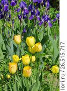 Купить «Клумба с желтыми тюльпанами и фиолетовыми ирисами», фото № 26515717, снято 10 июня 2017 г. (c) Елена Коромыслова / Фотобанк Лори
