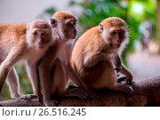 Купить «Three monkeys sit on a tree branch in the tropics», фото № 26516245, снято 6 ноября 2016 г. (c) Константин Лабунский / Фотобанк Лори