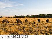 buffalo bulls grazing in savannah at africa (2017 год). Стоковое фото, фотограф Syda Productions / Фотобанк Лори