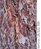 Купить «Douglas fir, Oregon pine (Pseudotsuga menziesii), bark», фото № 26522189, снято 9 декабря 2006 г. (c) age Fotostock / Фотобанк Лори