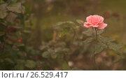 Купить «Rose of the color of a gentle coral in the wind. Close-up», видеоролик № 26529417, снято 7 марта 2017 г. (c) Mikhail Davidovich / Фотобанк Лори
