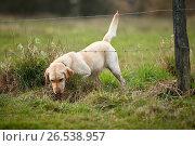Купить «Labrador Retriever (Canis lupus f. familiaris), creeping under a barbed wire», фото № 26538957, снято 2 марта 2007 г. (c) age Fotostock / Фотобанк Лори