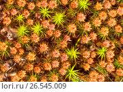 Купить «Star Moss, Haircap Moss, Hair Moss (Polytrichum spec), Perichaetia, Germany, Bavaria, Oberbayern, Upper Bavaria», фото № 26545009, снято 11 июля 2015 г. (c) age Fotostock / Фотобанк Лори