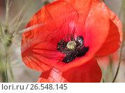 Купить «Цветущий мак крупным планом», фото № 26548145, снято 28 мая 2017 г. (c) Яна Королёва / Фотобанк Лори