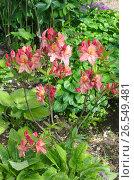 Купить «Рододендрон японский  (лат. Rhododendron japonicum) в саду», эксклюзивное фото № 26549481, снято 17 июня 2017 г. (c) Елена Коромыслова / Фотобанк Лори