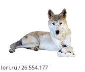 Купить «lying wolf over white background», фото № 26554177, снято 14 сентября 2012 г. (c) Яков Филимонов / Фотобанк Лори