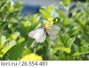 Две бабочки - спаривание. Стоковое фото, фотограф Владимир Абакумов / Фотобанк Лори