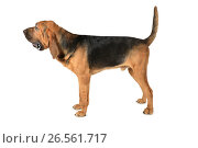 Купить «Bloodhound dog over white background», фото № 26561717, снято 6 мая 2017 г. (c) Алексей Кузнецов / Фотобанк Лори