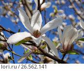 Купить «Крупный белый цветок магнолии», фото № 26562141, снято 30 апреля 2017 г. (c) Вячеслав Палес / Фотобанк Лори