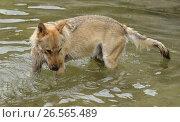 Купить «Серый волк (Canis lupus lupus) ловит рыбу», фото № 26565489, снято 11 июня 2017 г. (c) Валерия Попова / Фотобанк Лори