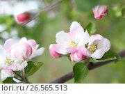 Купить «spring shoot of pink flower of apple tree», фото № 26565513, снято 1 июня 2017 г. (c) Tatjana Romanova / Фотобанк Лори