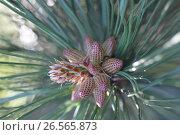 Купить «young brown cones on pine», фото № 26565873, снято 26 мая 2012 г. (c) Tatjana Romanova / Фотобанк Лори