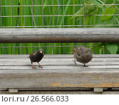 Купить «Скворец и птенец», фото № 26566033, снято 11 июня 2017 г. (c) Валерия Попова / Фотобанк Лори