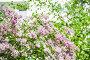 Цветущий куст бледно розовой венгерской сирени (Syringa josikaea), фото № 26572097, снято 19 июня 2017 г. (c) Алёшина Оксана / Фотобанк Лори