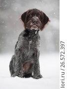 Щенок немецкой жесткошерстной легавой зимой. Стоковое фото, фотограф Павел Родимов / Фотобанк Лори