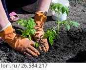 Купить «Руки в перчатках уплотняют землю возле посаженного куста помидор», фото № 26584217, снято 4 мая 2017 г. (c) Вячеслав Палес / Фотобанк Лори