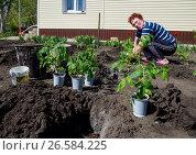 Купить «Пожилая женщина высаживает помидоры в открытый грунт», фото № 26584225, снято 4 мая 2017 г. (c) Вячеслав Палес / Фотобанк Лори