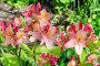 Рододендрон японский  (лат. Rhododendron japonicum) цветет в саду, фото № 26584421, снято 17 июня 2017 г. (c) Елена Коромыслова / Фотобанк Лори