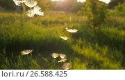 Купить «Dandelion Seeds falling from the sky», видеоролик № 26588425, снято 26 июня 2017 г. (c) Илья Шаматура / Фотобанк Лори