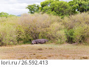 Купить «hippo in maasai mara national reserve at africa», фото № 26592413, снято 17 февраля 2017 г. (c) Syda Productions / Фотобанк Лори