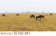 Купить «wildebeests grazing in savannah at africa», фото № 26592881, снято 17 февраля 2017 г. (c) Syda Productions / Фотобанк Лори