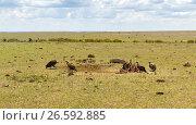 Купить «vultures eating carrion in savannah at africa», фото № 26592885, снято 18 февраля 2017 г. (c) Syda Productions / Фотобанк Лори