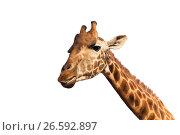 Купить «close up of giraffe head», фото № 26592897, снято 21 февраля 2017 г. (c) Syda Productions / Фотобанк Лори