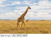 Купить «giraffes in savannah at africa», фото № 26593065, снято 17 февраля 2017 г. (c) Syda Productions / Фотобанк Лори
