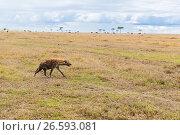 Купить «hyena hunting in savannah at africa», фото № 26593081, снято 17 февраля 2017 г. (c) Syda Productions / Фотобанк Лори