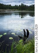 Купить «Still lake coastal landscape with dark snag», фото № 26593829, снято 12 июня 2016 г. (c) EugeneSergeev / Фотобанк Лори