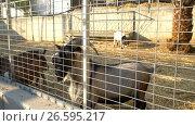 Купить «Goats on a farm on Cyprus island», видеоролик № 26595217, снято 27 июня 2017 г. (c) Гурьянов Андрей / Фотобанк Лори