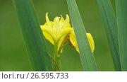 Купить «Yellow Iris bloom in grass close-up», видеоролик № 26595733, снято 7 июля 2011 г. (c) Гурьянов Андрей / Фотобанк Лори