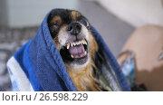 Купить «Grin of a small dog», видеоролик № 26598229, снято 27 июня 2017 г. (c) Илья Шаматура / Фотобанк Лори