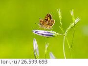 Купить «Бабочка Крепкоголовка лесная сидит на цветке колокольчике», эксклюзивное фото № 26599693, снято 9 июня 2017 г. (c) Игорь Низов / Фотобанк Лори