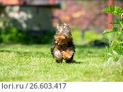 Купить «Щенок Йоркширского терьера бежит по траве», фото № 26603417, снято 11 июня 2017 г. (c) Pukhov K / Фотобанк Лори