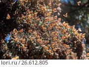 Купить «Central America, Mexico, State of Michoacan, Angangueo, Reserve of the Biosfera Monarca El Rosario, monarch butterfly (Danaus plexippus), wintering from...», фото № 26612805, снято 21 февраля 2017 г. (c) age Fotostock / Фотобанк Лори
