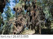 Купить «Central America, Mexico, State of Michoacan, Angangueo, Reserve of the Biosfera Monarca El Rosario, monarch butterfly (Danaus plexippus), In wintering...», фото № 26613005, снято 21 февраля 2017 г. (c) age Fotostock / Фотобанк Лори