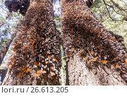 Купить «Central America, Mexico, State of Michoacan, Angangueo, Reserve of the Biosfera Monarca El Rosario, monarch butterfly (Danaus plexippus), In wintering...», фото № 26613205, снято 22 февраля 2017 г. (c) age Fotostock / Фотобанк Лори