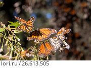 Купить «Central America, Mexico, State of Michoacan, Angangueo, Reserve of the Biosfera Monarca El Rosario, monarch butterfly (Danaus plexippus), Foraging on flowers.», фото № 26613505, снято 23 февраля 2017 г. (c) age Fotostock / Фотобанк Лори
