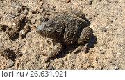 Купить «Земляная жаба», фото № 26631921, снято 4 июля 2017 г. (c) Кургузкин Константин Владимирович / Фотобанк Лори