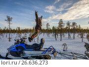 Купить «Man jumping by snowmobile, Kangos, Lapland, Sweden. Kangos is a locality situated in Pajala Municipality, Norrbotten County, Swedish Lapland.», фото № 26636273, снято 1 апреля 2016 г. (c) age Fotostock / Фотобанк Лори