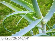 Купить «Алоэ-суккулентное растение», фото № 26640141, снято 3 июля 2017 г. (c) Александр Романов / Фотобанк Лори