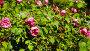 Closeup view on red bush rose flowers blooming in garden, видеоролик № 26640565, снято 29 апреля 2017 г. (c) Яков Филимонов / Фотобанк Лори